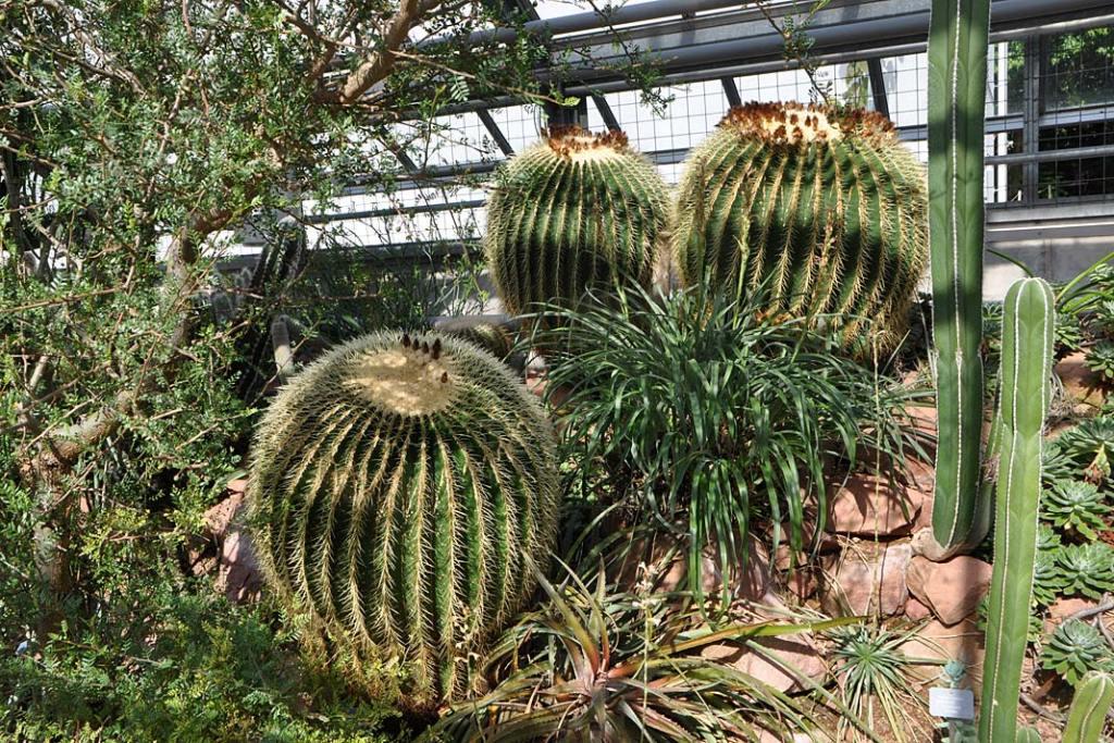 Ogrody Bazylei. Ogromne okazy kaktusów w pawilonie pustynnym