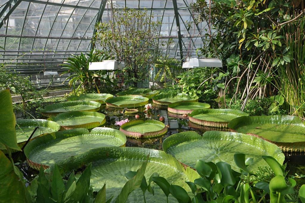 Uniwersytecki Ogród Botaniczny w Bazylei. Okazy wiktorii królewskiej w pawilonie Dom Wiktorii