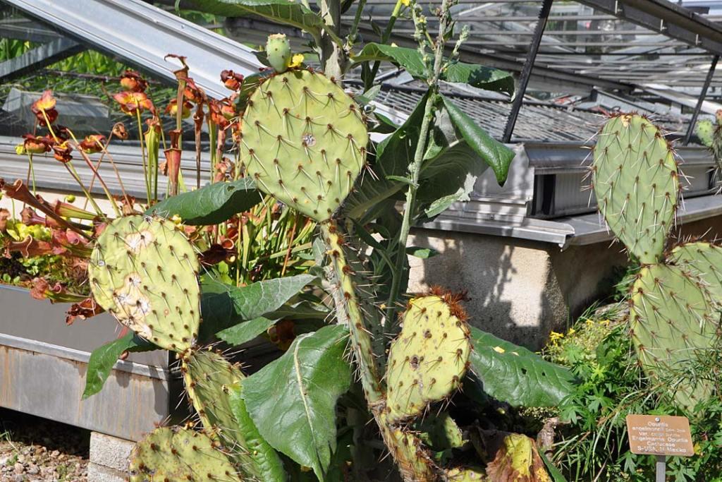 Ogrody Bazylei. Opuncje rosnące obok pawilonów tropikalnych