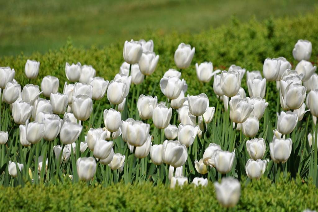 Białe tulipany w sanktuarium w Licheniu. Piękne ogrody