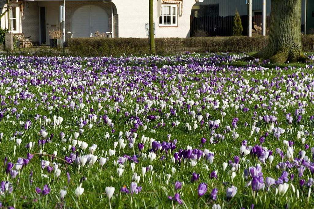 Wiosna w ogrodzie. Kwitnące krokusy na trawniku, fot ibulb