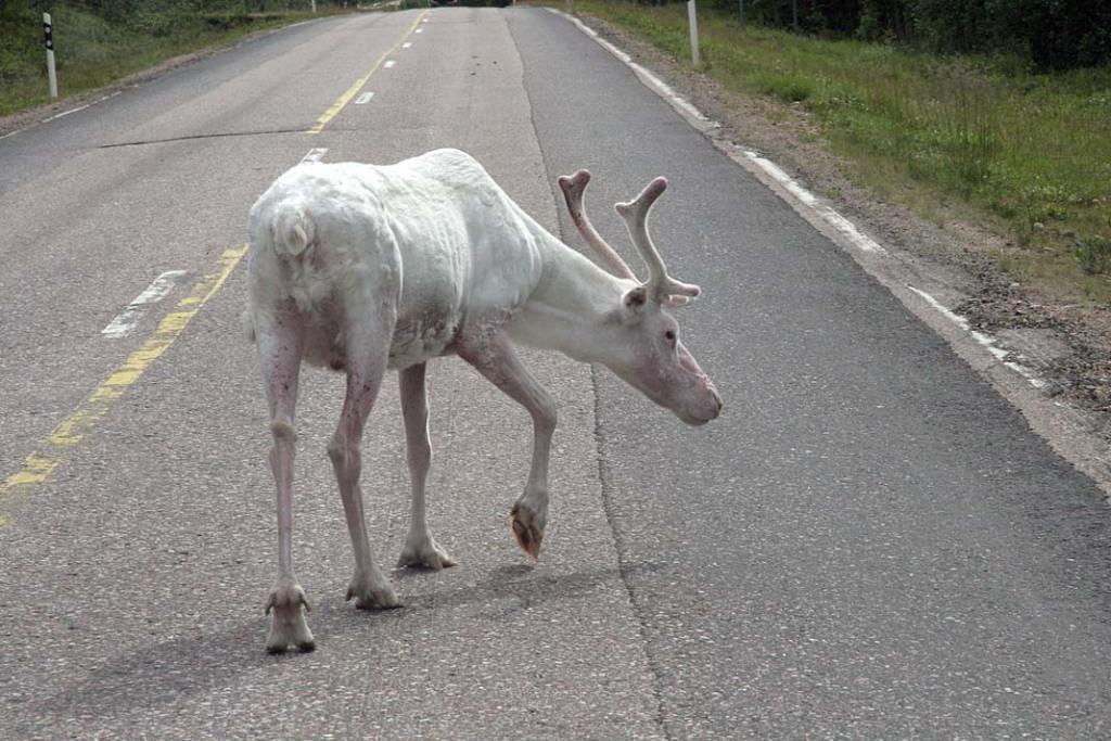 Renifer na szwedzkiej drodze