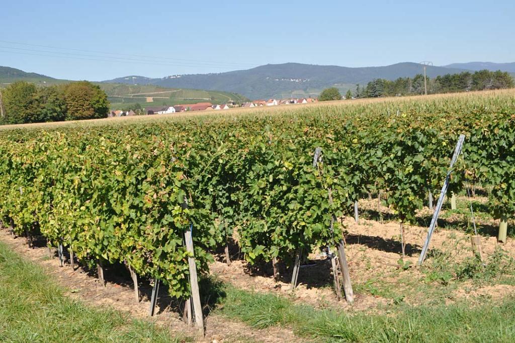 Uprawa winorośli w Burgundii