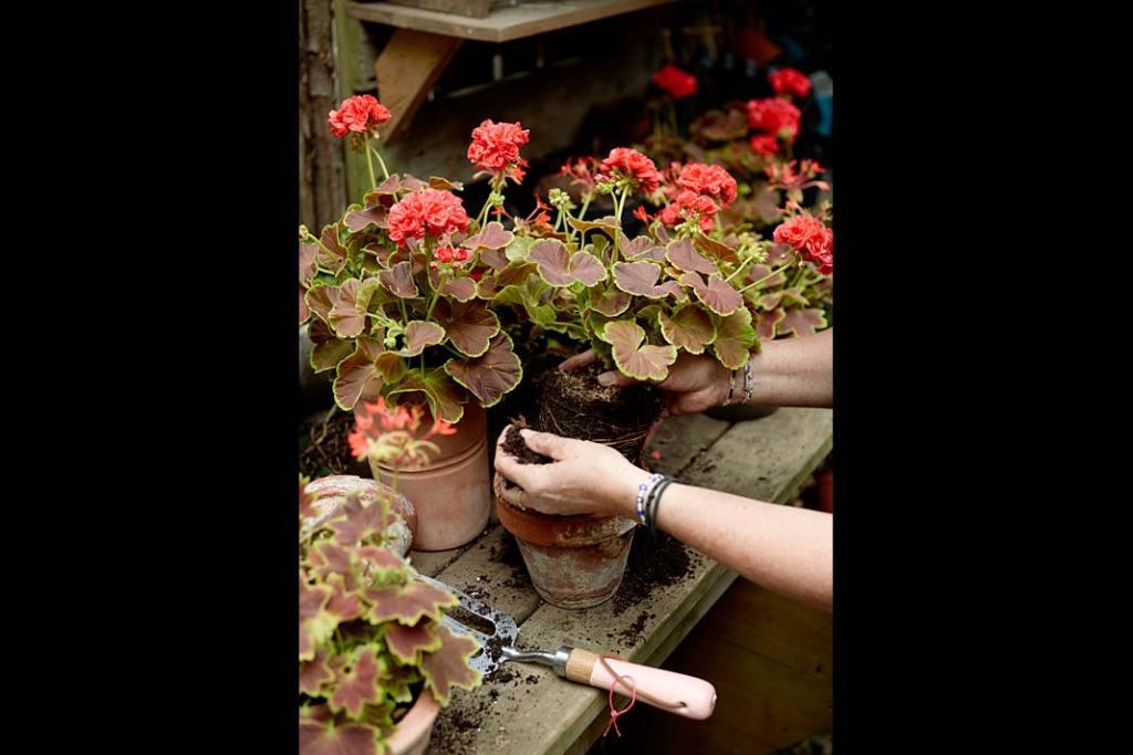 Wiosna w ogrodzie, dobry czas na sadzenie pelargonii