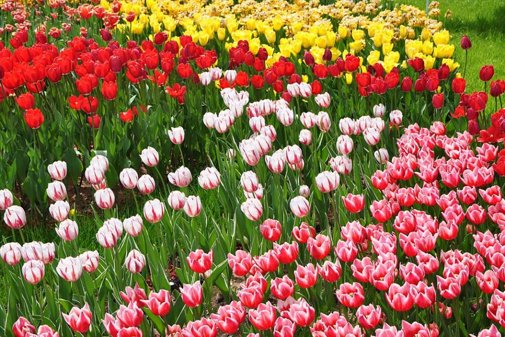 Ogrody i parki Kijowa. Kolekcja tulipanów na Śpiewaczym Polu