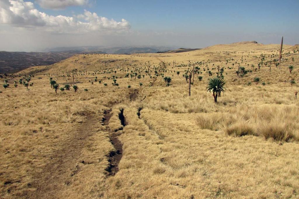 Część płaskowyżu Semien pokrywają połacie traw