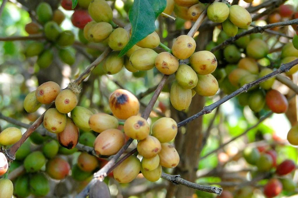 Kawa z Etiopii. Dojrzałe owoce kawowca mają głęboko czerwony kolor