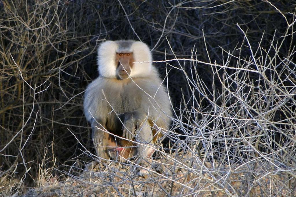 Pawiany płaszczowe zamieszkują obszary niżej położone i dość rzadko spotykają na swojej drodze stada dżelad