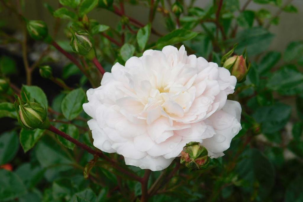 "Róża burbońska ""Boule de Neige"""
