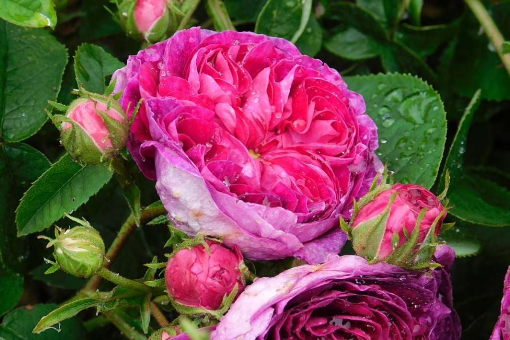 "Róża francuska ""Charles de Mills"""