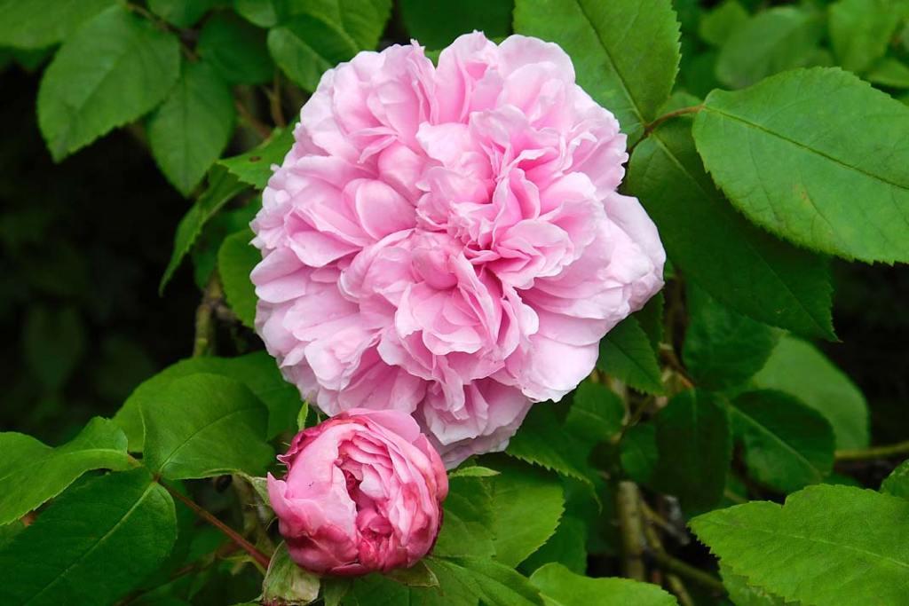 "Róża portlandzka ""Madame de Knorr"""