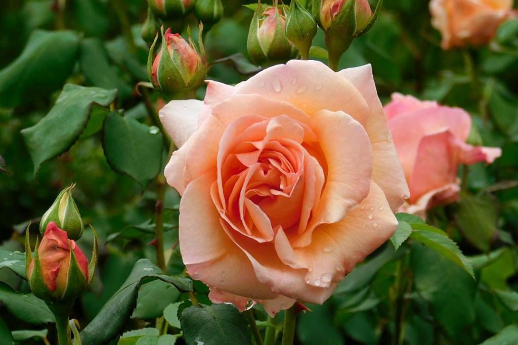 Róża rabatowa _Kalmar_