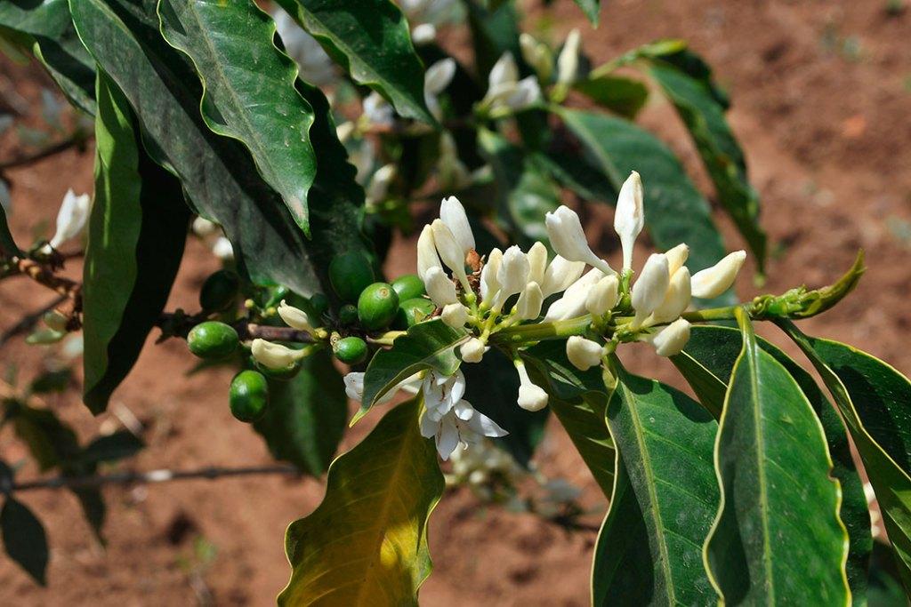 Kawa z Etiopii. Śnieżnobiałe kwiaty kawowca