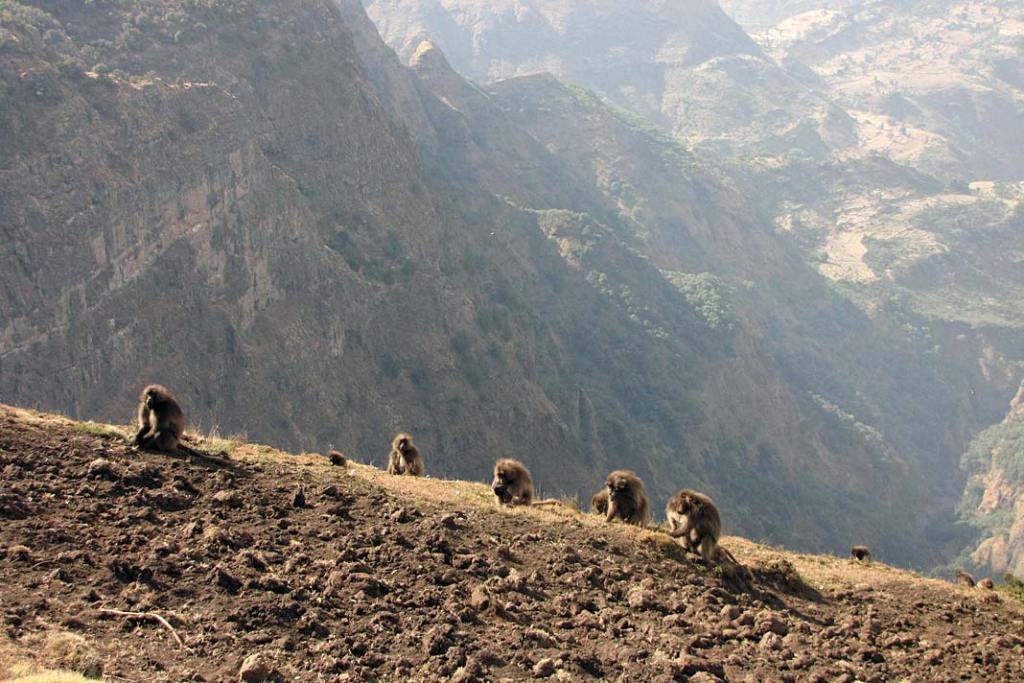Żerujące dżelady w górach Semien, Etiopia